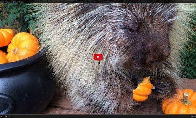 Cute Porcupine Eats a Pumpkin Feast