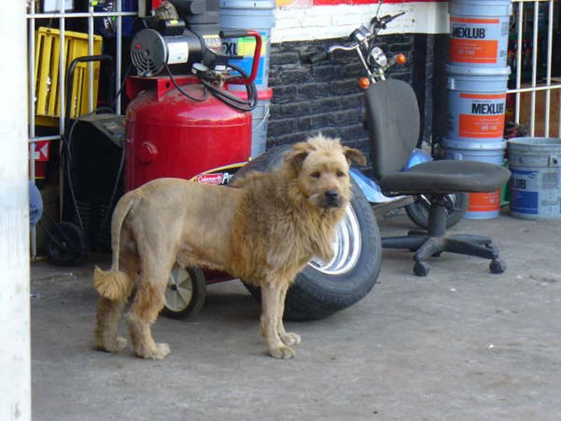 Dog_Lion