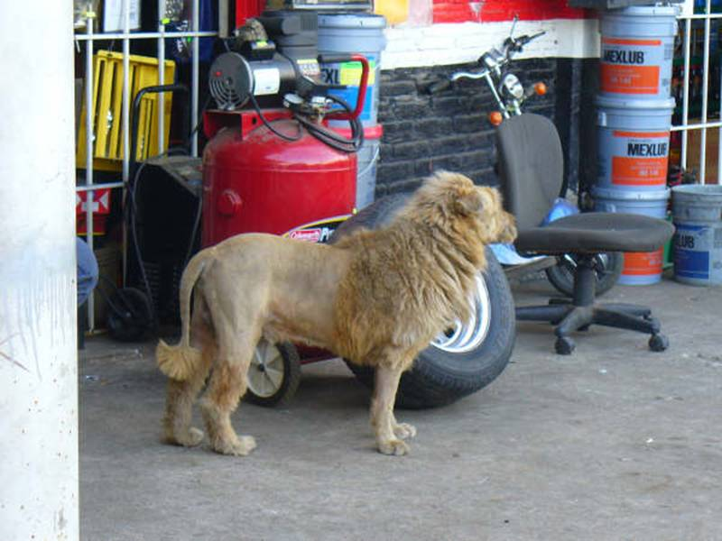 Escaped Lion in Sharjah