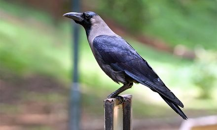 Study Shows the Amazing Intelligence of Crows