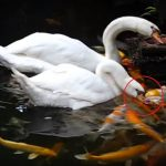 Swans Show Compassion on Fish